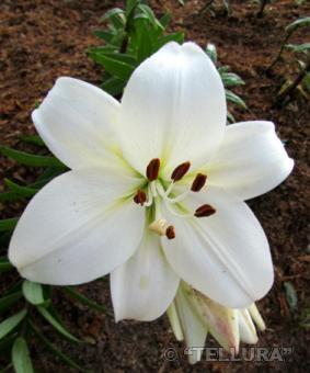 Lilium az 'Sancerre'