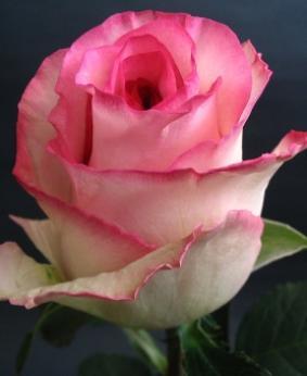 Роза 'Bella Vita'