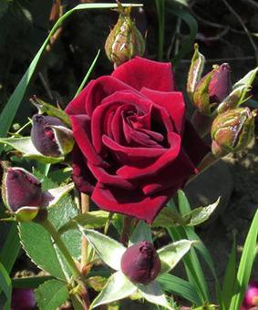 Роза 'Black Jack'