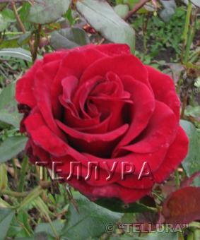 Роза 'Black Magic'