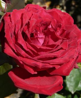 Роза 'Botero'