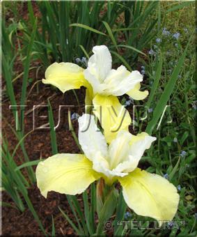 Iris sibirica 'Butter&Shugar'