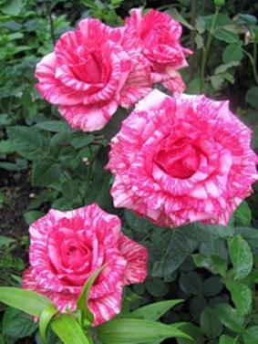 Роза 'Chaim Soutine'