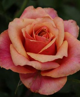 Роза 'Cherry Brendy'