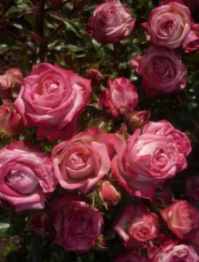 Роза 'Cherry Folies'