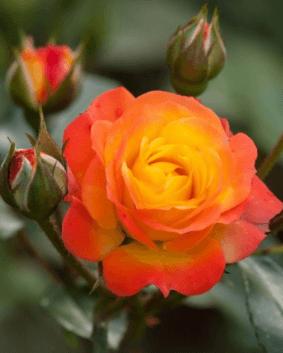 Роза 'Climantino'