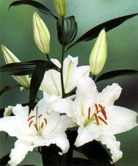 Lilium or 'Cordoba'
