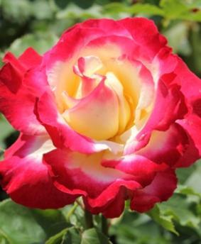 Роза 'Double Delight'