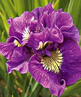 Iris sibirica 'Double Standard'
