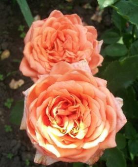 Роза 'Eldorado'