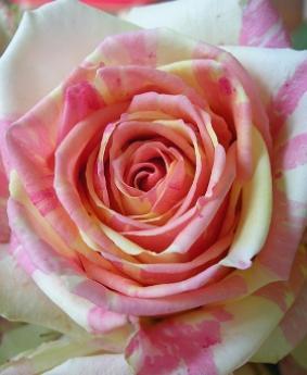 Роза 'Fiesta'