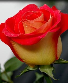Роза 'Friendship'