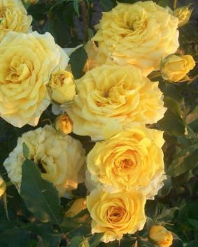 Роза 'Gold Micado'