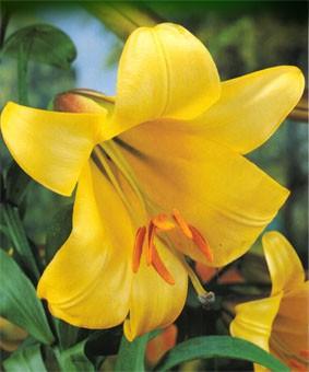 Lilium tr 'Golden Splendor'