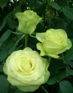 Роза 'Green Tea'