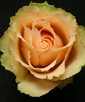 Роза 'Guajira'