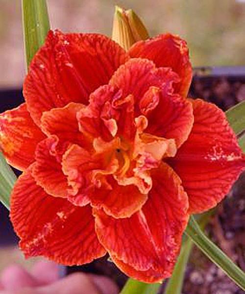 Hemerocallis Paprika Flame фото цветка крупным планом