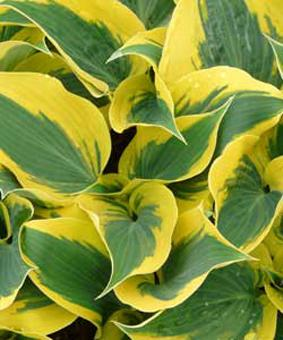 Hosta 'Ben Vernooij' NEW 2018
