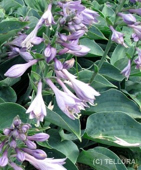 Hosta 'Blue Moon'