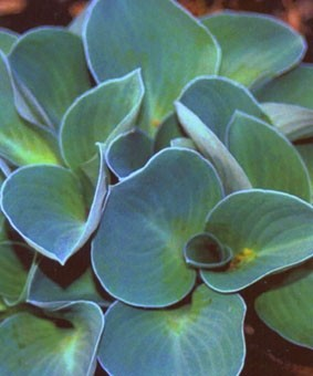 Hosta 'Blue Mouse Ears'