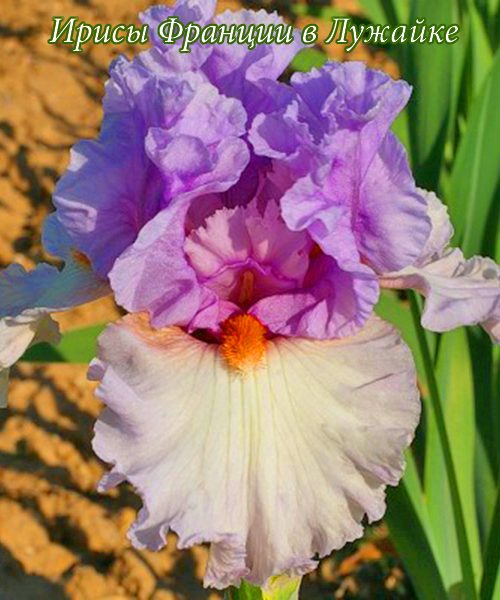 iris germanica belgian pincess купить в Лужайке