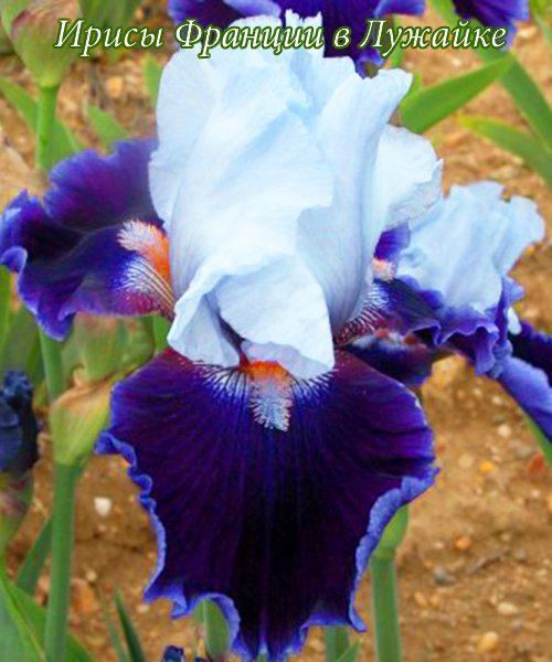 iris germanica belle de nuit купить в Лужайке
