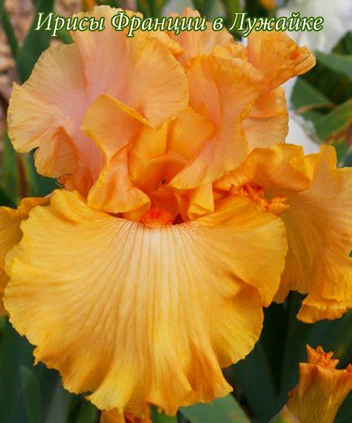 iris germanica big squeeze купить в Лужайке