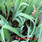 iris germanica обрезка