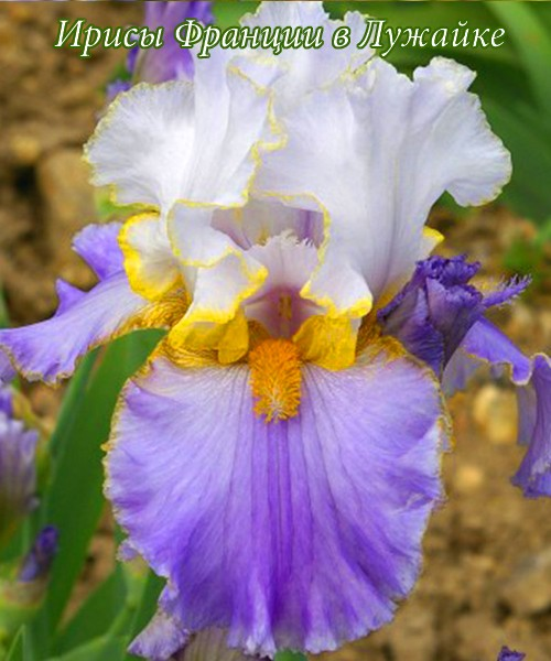 iris germanica fundamental купить