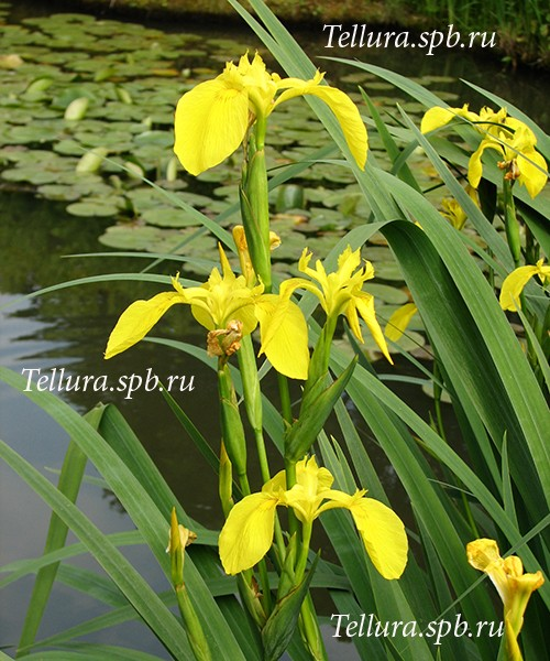 Цветущий Iris pseudacorus на фоне воды фото