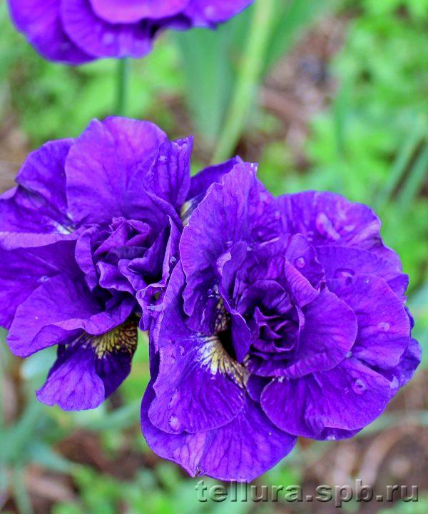 Ирис сибирский Каблуэй фото во время цветения