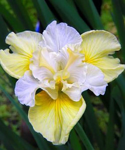 Iris sibirica Yellow Tail крупное фото цветка