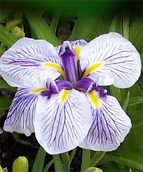 Iris ensata 'Caprician Butterfly'