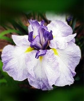 Iris ensata 'Cascade Crest'