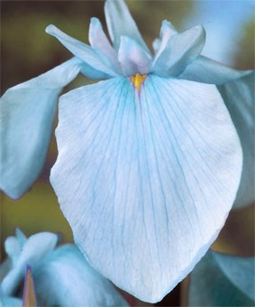 Iris ensata 'Darling'