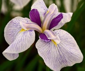 Iris ensata 'Queens Tiara'