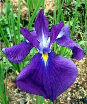 Iris ensata 'Sensation'