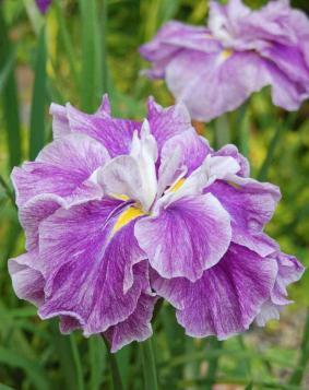 Iris ensata 'Tropical Storm'