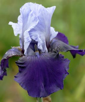 Iris germanica 'Best Bet'