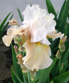 Iris germanica 'Champagne Elegance'