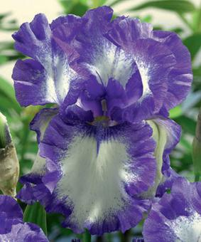 Iris germanica 'Circle Step'