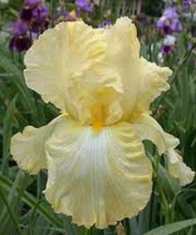 Iris germanica 'Buttered Popkorn'