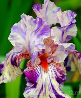 Iris germanica 'Peach Jam' NEW 2018