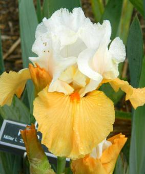 Iris germanica 'Pumpkin Cheesecake' NEW 2018