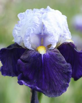 Iris germanica 'Night Edition'