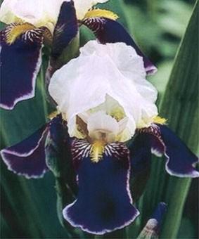 Iris germanica 'Wabach'
