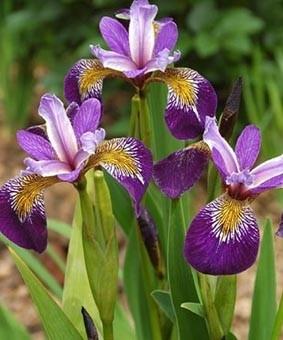 Iris pseudacorus 'Holden's Child'
