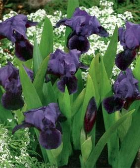 Iris pumila 'Atrovilacaea'