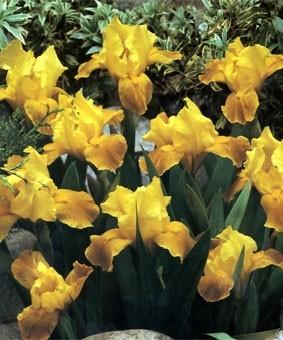 Iris pumila 'Brassie'