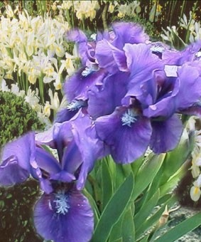 Iris pumila 'Bunbury Ruffles'